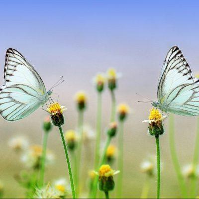 Schmetterlinge_pixabay